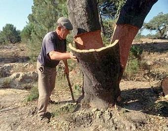 Пробковое дерево фото